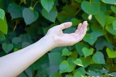 Το χέρι του νέου κοριτσιού σε πράσινο βγάζει φύλλα το υπόβαθρο Στοκ Φωτογραφίες