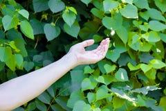 Το χέρι του νέου κοριτσιού σε πράσινο βγάζει φύλλα το υπόβαθρο Στοκ φωτογραφίες με δικαίωμα ελεύθερης χρήσης