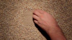 Το χέρι των ατόμων καθαρίζει τα σιτάρια κριθαριού μαργαριταριών κάνει ένα πλαίσιο των σιταριών burlap απόθεμα βίντεο