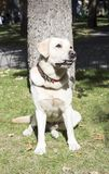 Το χαμόγελο Retriever του Λαμπραντόρ επίσης labradorite του Λαμπραντόρ για έναν περίπατο κοιτάζει στο πλαίσιο Πορτρέτο μιας πράσι Στοκ Φωτογραφία