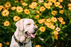 Το χαμόγελο με το στενό θηλυκό σκυλί του Λαμπραντόρ ματιών κίτρινο χρυσό κάθεται μέσα Στοκ φωτογραφίες με δικαίωμα ελεύθερης χρήσης