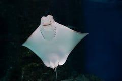 Το χαμόγελο stingray κολυμπά στο ενυδρείο Στοκ εικόνες με δικαίωμα ελεύθερης χρήσης