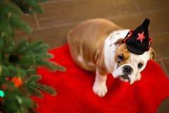 Το χαριτωμένο αγγλικό μπουλντόγκ κουταβιών με το κεφάλι ελαφιών στο κόκκινο χαλί κοντά στο χριστουγεννιάτικο δέντρο με τα παιχνίδ Στοκ Φωτογραφία