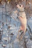 Το χαριτωμένο αμερικανικό κουτάβι τεριέ Staffordshire πηδά για το παιχνίδι του Επτά μηνών παλαιός Ζώα της Pet Στοκ Εικόνα