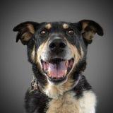 Το χαριτωμένο αστείο μαύρο σκυλί κόλλησε έξω τη γλώσσα και τα χαμόγελά του, που θέτουν στο γκρίζο υπόβαθρο Στοκ εικόνες με δικαίωμα ελεύθερης χρήσης