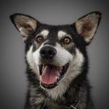 Το χαριτωμένο αστείο σκυλί είναι το σύμβολο του 2018, που κολλιέται έξω τη γλώσσα και τα χαμόγελά του, που θέτουν στο γκρίζο υπόβ Στοκ φωτογραφία με δικαίωμα ελεύθερης χρήσης