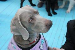 Το χαριτωμένο γκρίζο σκυλί Deutscher kurzhaariger Vorstehhund εξετάζει τον κύριό του Στοκ Εικόνες