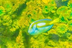 Το χαριτωμένο ειρηνικό βασιλοπρεπές μπλε ψάρι γεύσης (hepatus Paracanthurus) είναι swi Στοκ Φωτογραφία