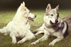 Το χαριτωμένο ζεύγος του γκρίζου wolfdog και το ελβετικό λευκό shepheard σταθμεύουν την άνοιξη Στοκ φωτογραφία με δικαίωμα ελεύθερης χρήσης