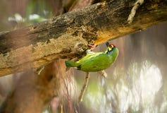 Το χαριτωμένο κιτρινοπράσινο πουλί, barbet χαλκουργών προετοιμάζει την πλατφόρμα για να τοποθετηθεί την τρύπα รื ะ στοκ εικόνα με δικαίωμα ελεύθερης χρήσης