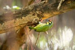 Το χαριτωμένο κιτρινοπράσινο πουλί, barbet χαλκουργών προετοιμάζει την πλατφόρμα για να τοποθετηθεί την τρύπα รื ะพภ³ à στοκ εικόνα