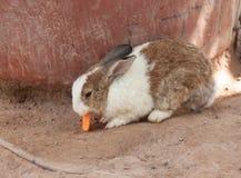 Το χαριτωμένο κουνέλι τρώει το καρότο στο έδαφος Στοκ Εικόνες