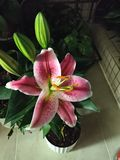 Το χαριτωμένο λουλούδι κρίνων μου στοκ εικόνες