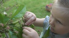 Το χαριτωμένο μικρό κορίτσι εξερευνά το δέντρο κερασιών με τα πράσινα μούρα απόθεμα βίντεο