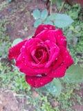 Το χαριτωμένο ροδαλό λουλούδι μου στοκ φωτογραφία με δικαίωμα ελεύθερης χρήσης