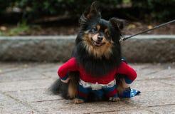 Το χαριτωμένο σκυλί φορά το έξοχο κοστούμι ηρώων στο σκυλάκι Con της Ατλάντας στοκ φωτογραφίες με δικαίωμα ελεύθερης χρήσης