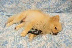 Το χαριτωμένο σκυλί έπεσε κοιμισμένο επειδή η TV είναι τρυπώντας στοκ εικόνα με δικαίωμα ελεύθερης χρήσης