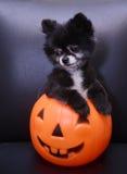 Το χαριτωμένο σκυλί θέτει στο φανάρι του Jack ο Στοκ φωτογραφία με δικαίωμα ελεύθερης χρήσης