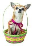 Το χαριτωμένο σκυλί κάθεται και ακούει προσεκτικά στο χρωματισμένο καλάθι Νάνο σκυλί Chihuahua με ένα κόκκινο τόξο στο απομονωμέν Στοκ Φωτογραφία