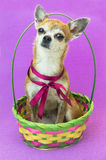 Το χαριτωμένο σκυλί κάθεται και ακούει προσεκτικά στο χρωματισμένο καλάθι Νάνο σκυλί Chihuahua με ένα κόκκινο τόξο στο ιώδες υπόβ Στοκ Φωτογραφίες