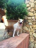 Το χαριτωμένο σκυλί Chihuahua ένα αστείο πρόσωπο, σκυλί Chihuahua κοιτάζει στη κάμερα Στοκ Φωτογραφία