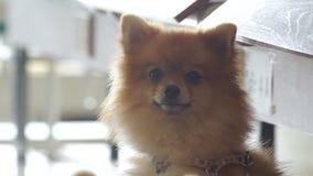 Το χαριτωμένο σκυλί Pomeranian γυρίζει το κεφάλι απόθεμα βίντεο