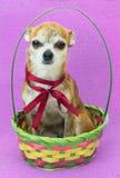 Το χαριτωμένο λυπημένο σκυλί κάθεται και στο χρωματισμένο καλάθι Νάνο σκυλί Chihuahua με ένα κόκκινο τόξο στο ιώδες υπόβαθρο Στοκ Εικόνα