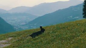 Το χαριτωμένο χνουδωτό μαύρο κουνέλι μασά τη χλόη στο υπόβαθρο της γραφικής αυστριακής κοιλάδας απόθεμα βίντεο