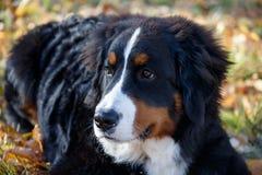 Το χαριτωμένο bernese κουτάβι σκυλιών βουνών βρίσκεται στο φύλλωμα φθινοπώρου Berner sennenhund ή bernese σκυλί βοοειδών στοκ εικόνες