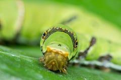 Το χαριτωμένο Caterpillar του Μπόρνεο Στοκ Εικόνα