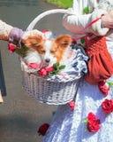 Το χαριτωμένο chihuahua φοριέται σε ένα υπέροχα διακοσμημένο καλάθι Στοκ φωτογραφίες με δικαίωμα ελεύθερης χρήσης