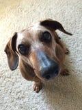 Το χαριτωμένο dachshund μου στοκ εικόνες με δικαίωμα ελεύθερης χρήσης