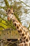 Το χαριτωμένο giraffe κεφάλι με το περίεργο μάσημα κοιτάζει Στοκ φωτογραφίες με δικαίωμα ελεύθερης χρήσης