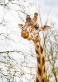 Το χαριτωμένο giraffe κεφάλι με το περίεργο μάσημα κοιτάζει Στοκ Φωτογραφίες