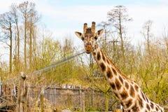 Το χαριτωμένο giraffe κεφάλι με το περίεργο μάσημα κοιτάζει Στοκ φωτογραφία με δικαίωμα ελεύθερης χρήσης