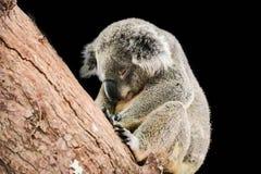 Το χαριτωμένο koala είναι sleepinh στο μαύρο υπόβαθρο στοκ φωτογραφίες με δικαίωμα ελεύθερης χρήσης