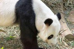 Το χαριτωμένο panda αντέχει Στοκ φωτογραφίες με δικαίωμα ελεύθερης χρήσης