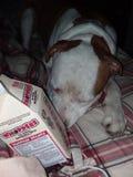 Το χαριτωμένο pitbull μου στοκ φωτογραφία