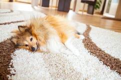 Το χαλαρωμένο shelty σκυλί βρίσκεται Στοκ φωτογραφία με δικαίωμα ελεύθερης χρήσης