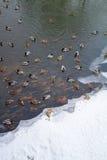 Το χειμώνα η λίμνη είναι πολλές πάπιες στοκ φωτογραφίες