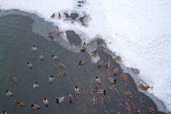 Το χειμώνα η λίμνη είναι πολλές πάπιες στοκ εικόνα