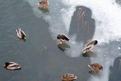Το χειμώνα η λίμνη είναι πολλές πάπιες στοκ φωτογραφία με δικαίωμα ελεύθερης χρήσης