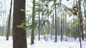 Το χιονώδες δάσος, χριστουγεννιάτικο δέντρο, μετακινείται απόθεμα βίντεο