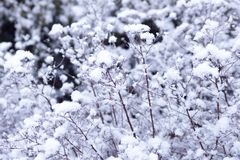 Το χιόνι βρίσκεται σε έναν θάμνο το χειμώνα Στοκ Φωτογραφία