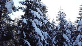 Το χιόνι βρίσκεται στα κωνοφόρα δέντρα εναέρια όψη κλείστε επάνω απόθεμα βίντεο