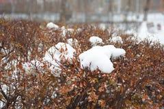 Το χιόνι βρίσκεται στους ξηρούς κόκκινους θάμνους στο πάρκο το χειμών στοκ εικόνα με δικαίωμα ελεύθερης χρήσης