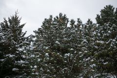 Το χιόνι καλύπτει το δέντρο πεύκων μετά από τη χειμερινή θύελλα Στοκ εικόνες με δικαίωμα ελεύθερης χρήσης