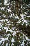 Το χιόνι καλύπτει το δέντρο πεύκων μετά από τη χειμερινή θύελλα Στοκ Φωτογραφία