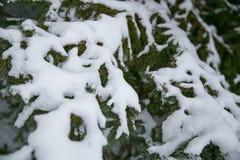 Το χιόνι καλύπτει το δέντρο πεύκων μετά από τη χειμερινή θύελλα στοκ εικόνα