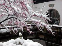 Το χιόνι πέφτει το άνθος δαμάσκηνων, λουλούδια γειτόνων ` s στοκ φωτογραφία με δικαίωμα ελεύθερης χρήσης